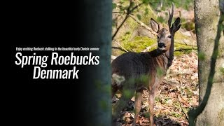 Spring Roebucks Denmark - Hunters Video