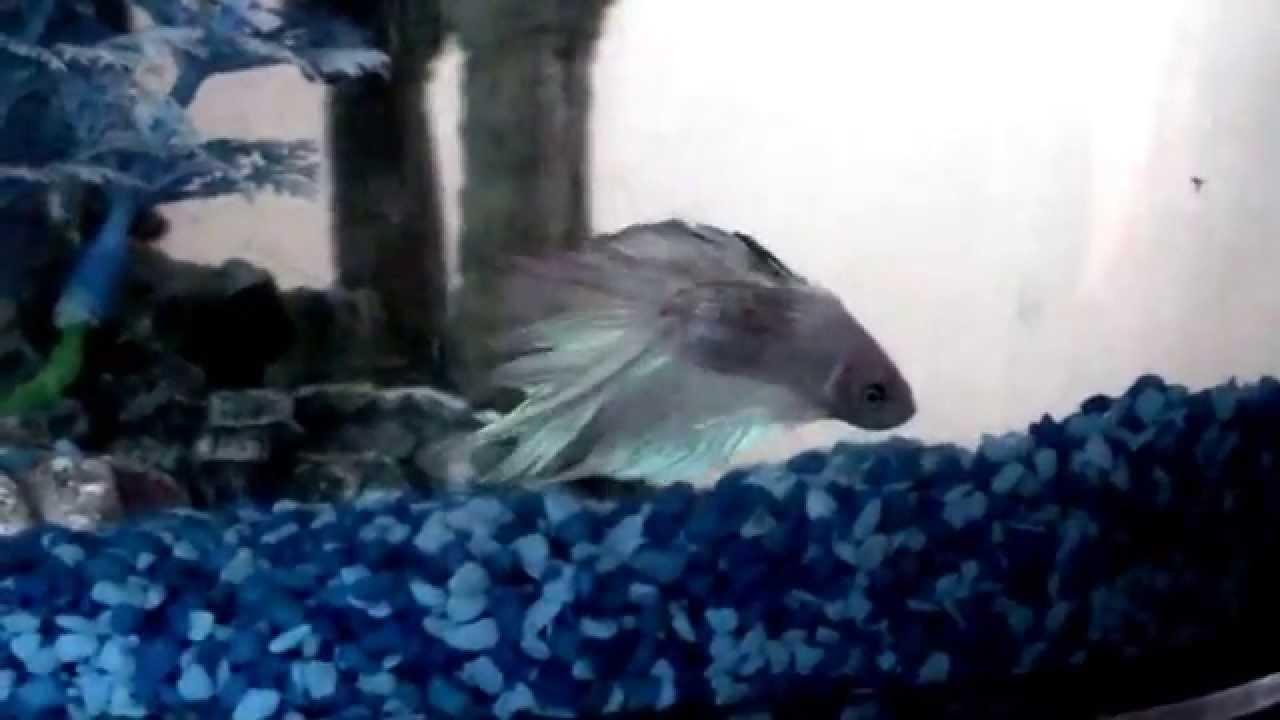 New betta fish Betta Fish