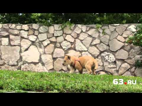 Самарец завел дома льва