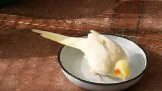 COCKATIEL`S BATH