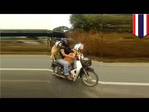 Dogs ride motorbike: golden labradors filmed with owner riding down Thailand highway