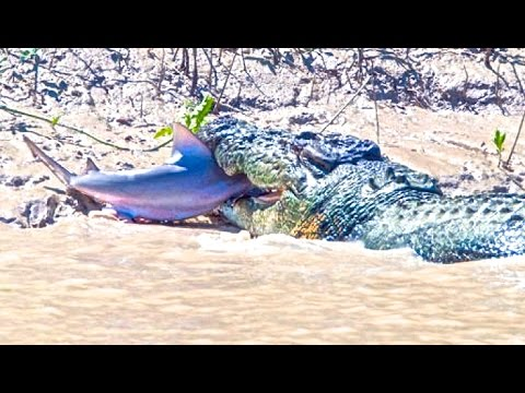 Crocodile Attacks Shark in Australia | Brutus Croc attacks & eats Shark!!!
