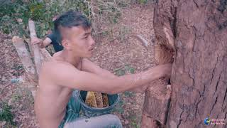 Natural honey bee live in the hole of the tree.ผึ้งธรรมชาติอาศัยอยู่ในรูของต้นไม้