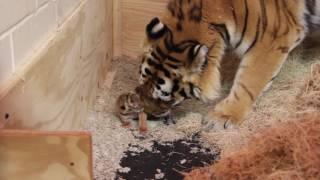 Minnesota Zoo New Tiger Cub Update