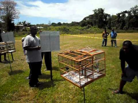 Trini Bullfinch  Cedros 2011 Finals 3 video
