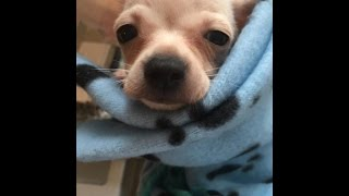 Lianas Life #1 - meet my new puppy chihuahua Chico!