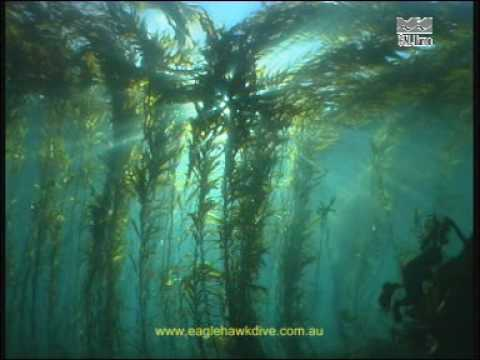 Diving California Kelp Forest Dive The Giant Kelp Forest