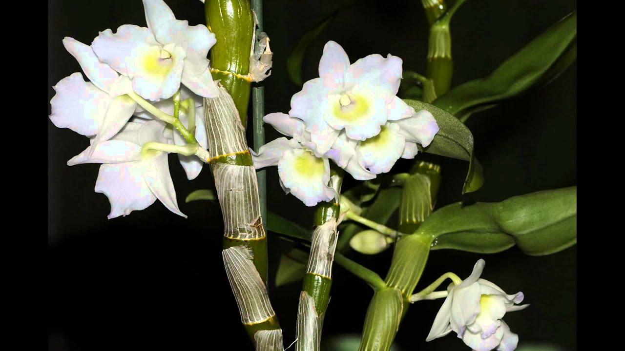 l 39 orchid e dendrobium nobile time lapse youtube. Black Bedroom Furniture Sets. Home Design Ideas