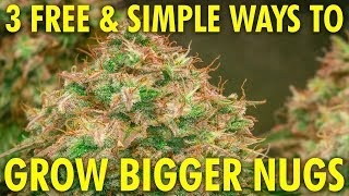 3 Simple & Free Ways to Grow Bigger, Denser Buds! Cannabis Grow Guide Week 12