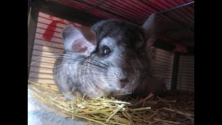 10 Things Chinchilla Owners Should Never Do