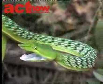 Green Vine Snake Video