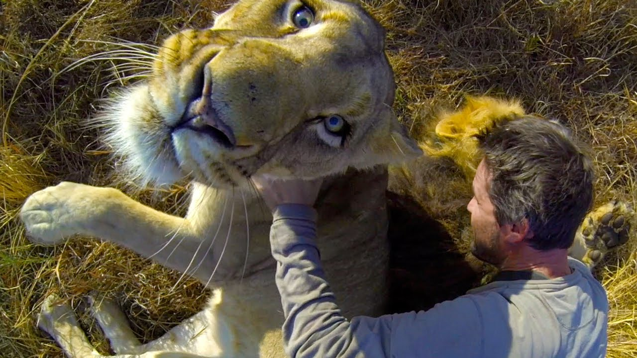 lion pride фото