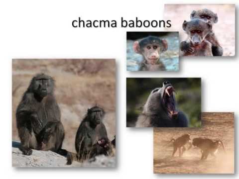 Sexual selection in females: insights from baboon societies by Elise Huchard
