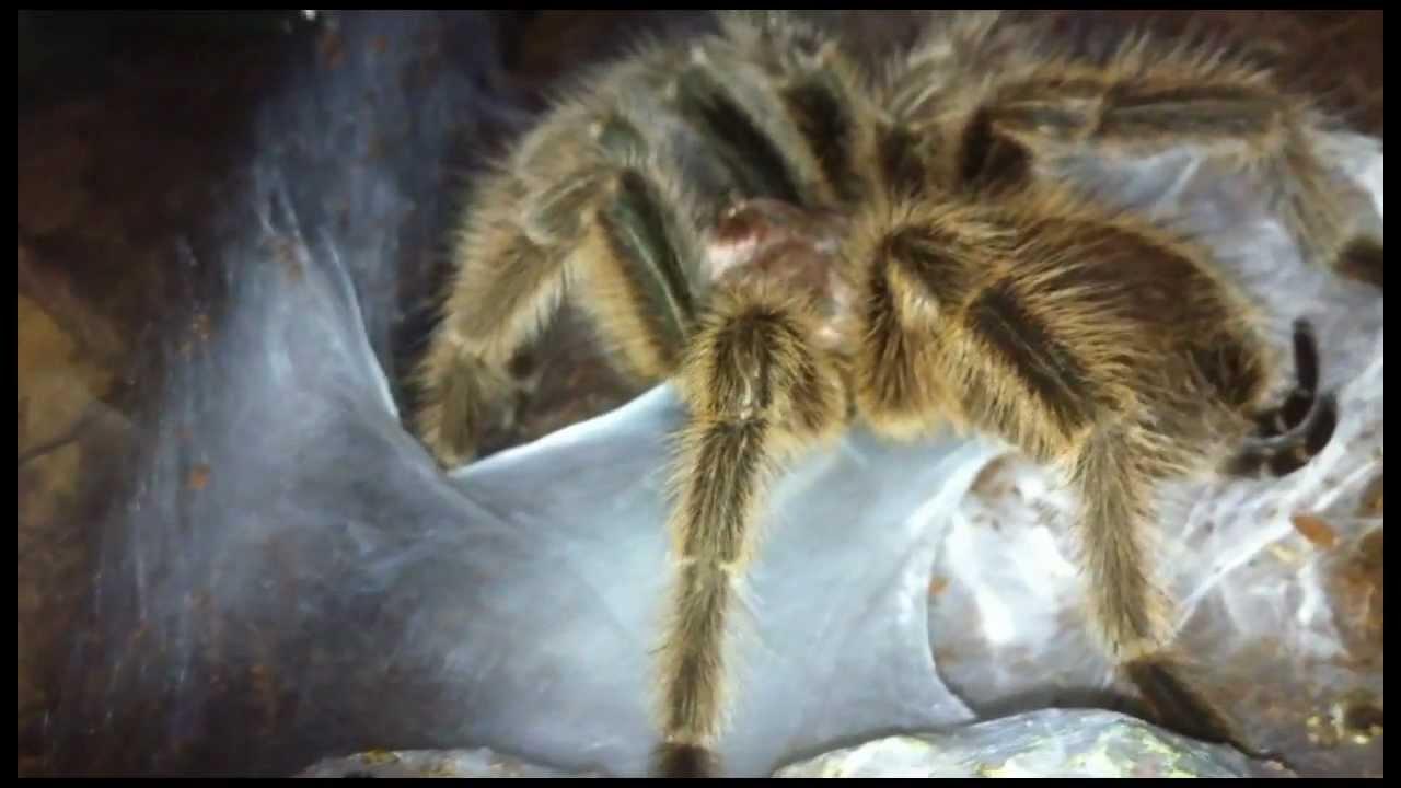 Tarantula Web Tarantula Sperm Web hd