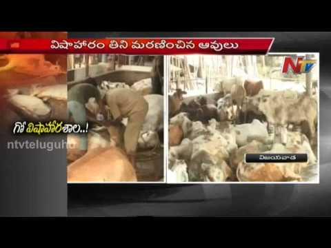 Cows killed by Food Poisoning   Durga Temple – Vijayawada : NTV Photo Image Pic