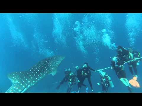 Curious whale shark watches divers doing safety stop