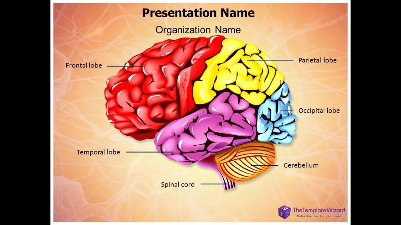 Cerebellum Brain Parts PowerPoint Template ...