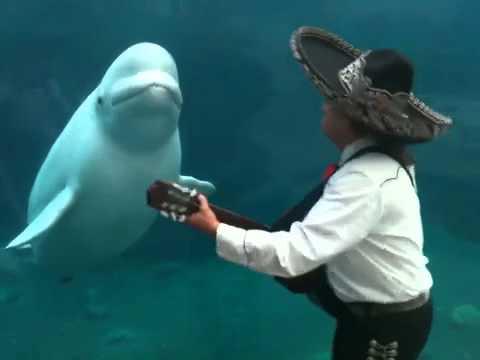 Thumbnail of video La ballena beluga que amaba a los mariachis
