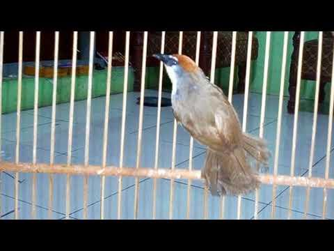 Burung Kidangan Mana Yang Tidak Nyaut Dan Gacor Dengan Pancingan Ini