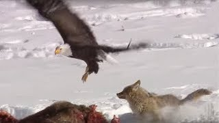 Coyote vs Bald Eagles | Yellowstone | BBC Earth