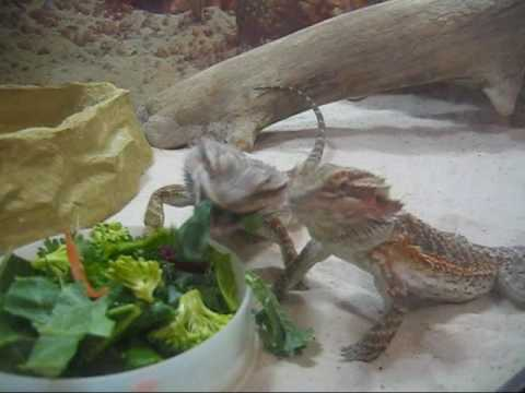 fat man eating grapes. Female Bearded Dragons Eating