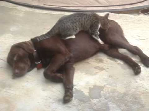 Strange Cat Massage on Labrador Dog
