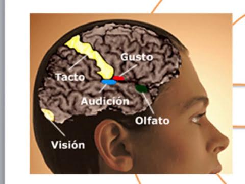 El Cerebro, Procesos y Aprendizaje