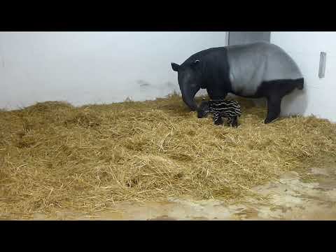 Tapir Calf Enjoys Some Playtime