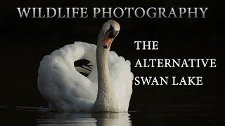 Wildlife Photography | The Alternative Swan Lake