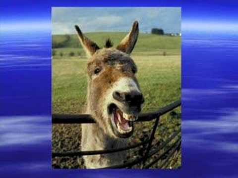 Laughing Donkey video