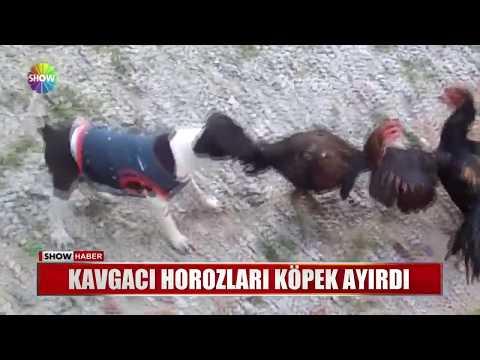 Kavgacı horozları köpek ayırdı
