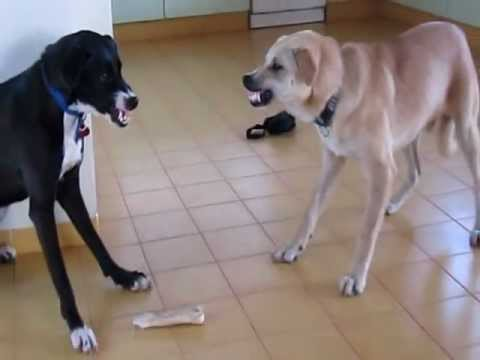 Dog Vs. Other Dog (my Two Dogs Fighting Over A Bone) video