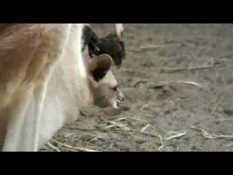 【ハッチファミリー】クララの第2子誕生シーン