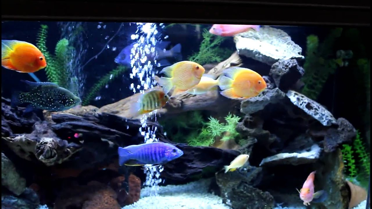 150g mixed cichlid community aquarium african american for Cichlid fish tank