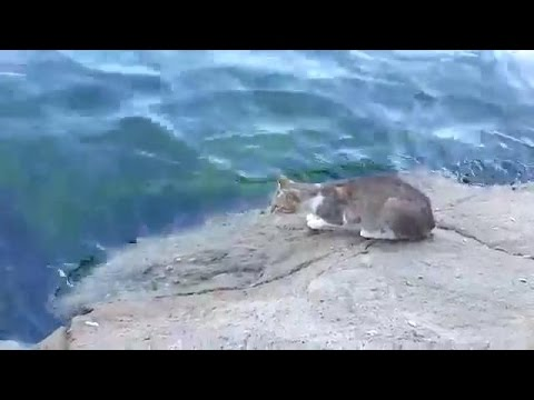 Cat Catch Fish from River