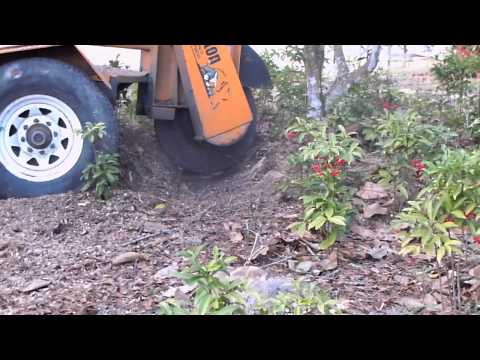 Stump Grinding between shrubs and camellia bush, Kiln MS
