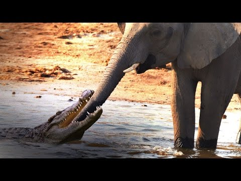 Crocodile Attacks African Elephant at Watering Hole