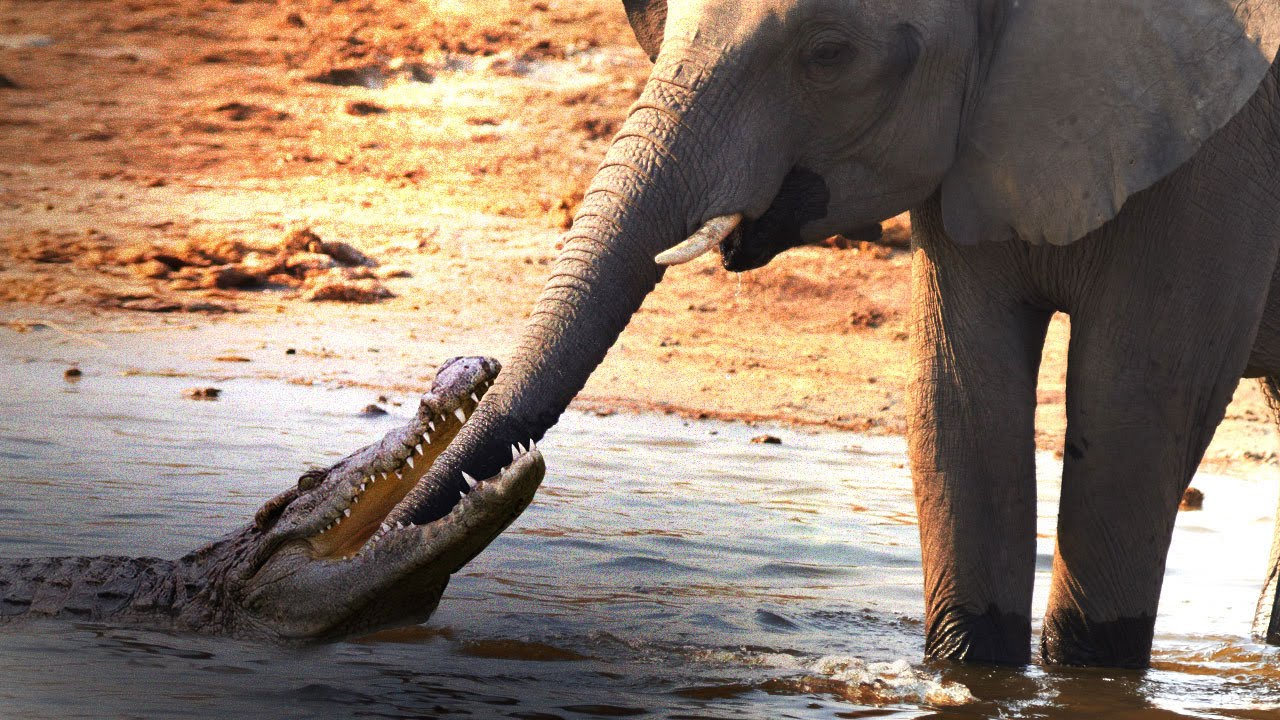 Elephant Crocodile Story Crocodile Attacks Elephant at