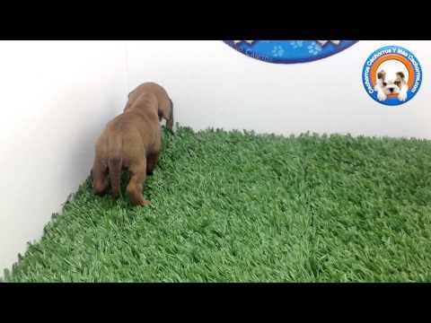Venta de Perros Salchicha en Cachorrs y más cachorros