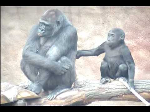 Baby gorilla Kib with Aunty Biki
