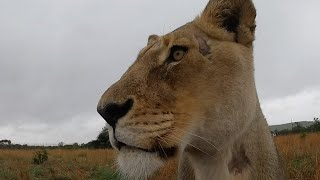 Devastated about Amy's Illness | The Lion Whisperer