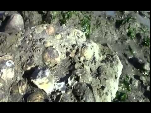 Oyster conservation