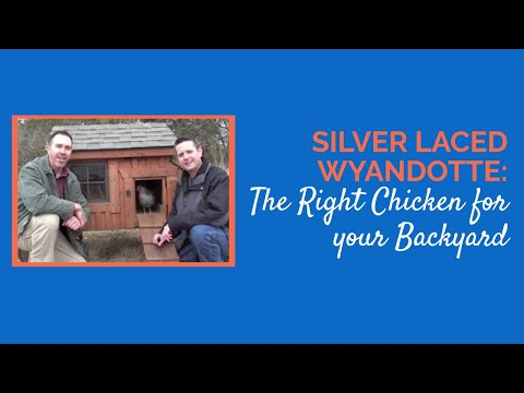 Silver Laced Wyandotte The Right Chicken for your Backyard