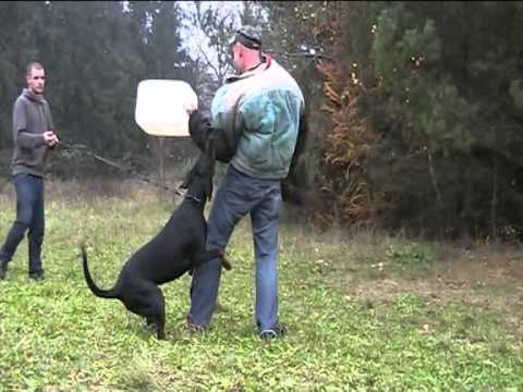 Dobermann KAYA VOM EXCALIBUR Schutzdienst Schutzhund Hundesport zucht zchter welpen ztp IDC