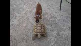 හූ හූ.....බය ගුල්ලා....Tortoise chases dog FUNNY