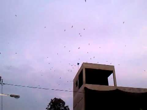 Swiftlet City 6 video