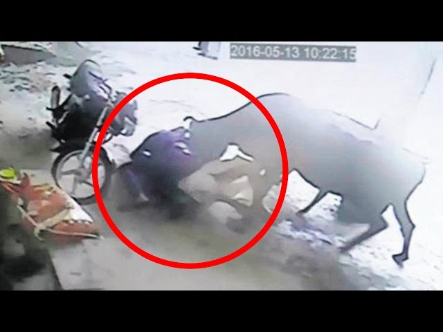 Cows: Brave cow attacks two men to rescue girl; Rustlers stuff four cows in a car - Compilation