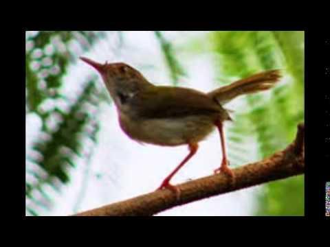 Burung Prenjak Sawah Gacor Receh video