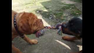 Rottweiler v Dogue de Bordeaux v Child