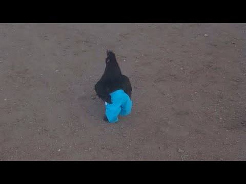 Chicken Runs Around Wearing Blue Pants